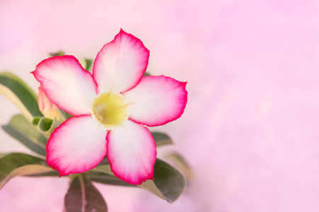 Desert Rose or Impala Lily (Mock Azalea) on pink background, selective focus at petal