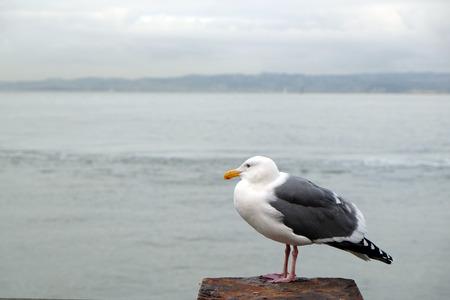 groynes: seagull Stock Photo