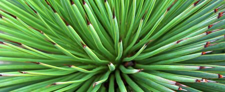 close up Yucca plant background. green nature