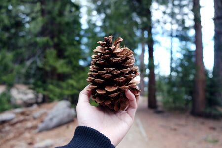 Hand holding big pine cone with pine tree