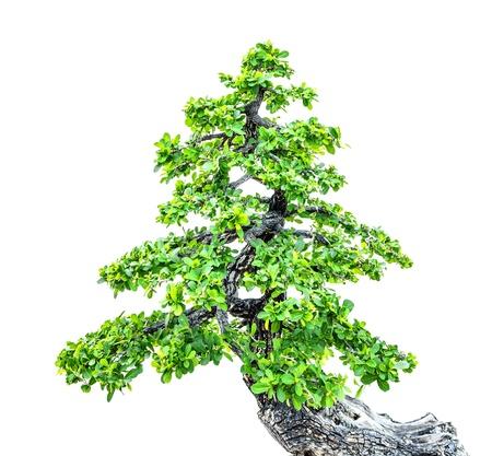 bois �b�ne: Bel arbre d'�b�ne bonsa� isol� sur fond blanc.