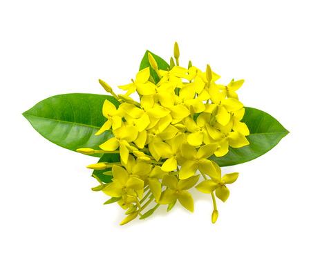 Yellow Ixora ( Coccinea) flowers on white background.  photo