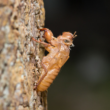 Cicada  Hemiptera  Cicadidae  dried skin  photo