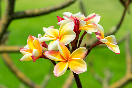 Plumeria flower, Beautiful yellow and pink inflorescence. photo