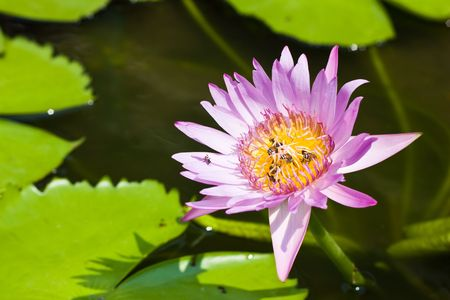 bees in a lotus photo
