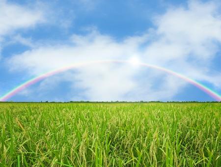 Rainbow rijst veld