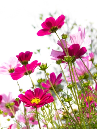 pink daisy: pink cosmos flower
