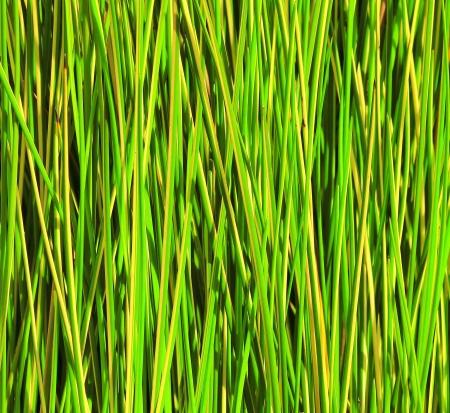 canne: chiudere, su sfondo verde canna