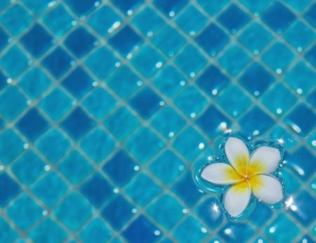 white frangipani floating in swimming pool photo