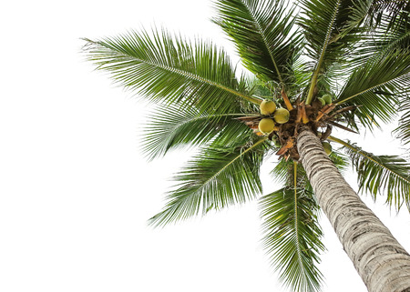 coconut palm tree: coconut tree and white sky background