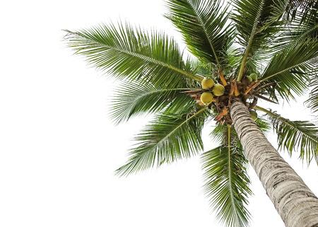 kokosnoot boom en witte hemel achtergrond