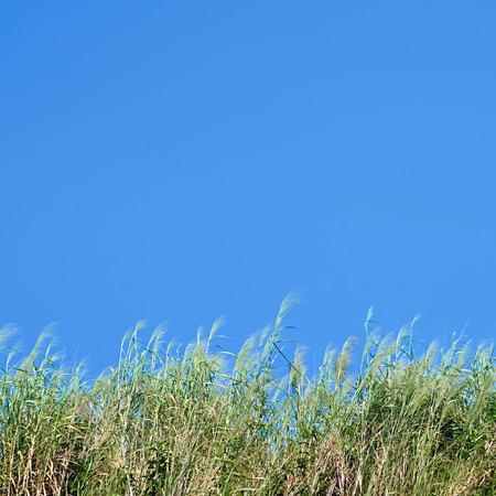 clump: clump of grass with blue sky background Stock Photo