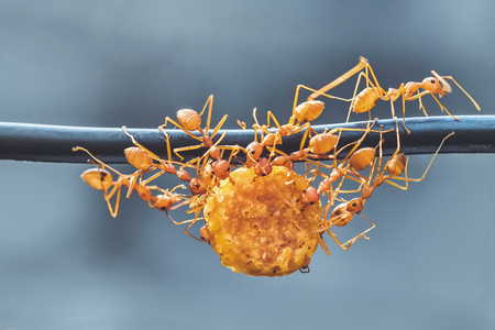 ants carrying food, unity of ants