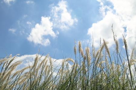 canne: canne di erba e cielo blu di sfondo