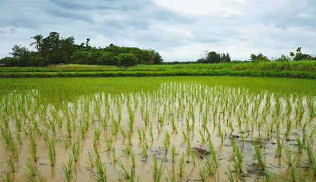 rice paddy: rice plants growing in paddy field