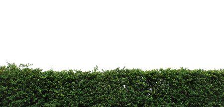 green hedge isolated on white. gardening bush fence background