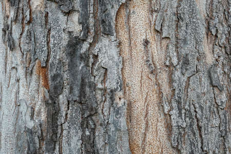 bark cracked texture of a aging tree trunk. natural detail background.