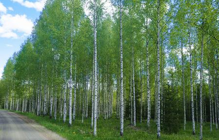 big birch wood in rural finland 版權商用圖片