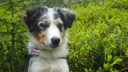 close up of a australian sheppard puppy in finnish nature
