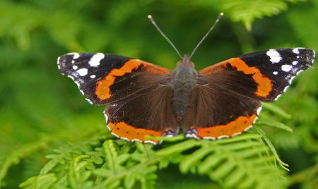 admiral: A Red Admiral Basking .
