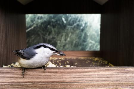 A small bird eats seeds (Lanius excubitor) Stock Photo