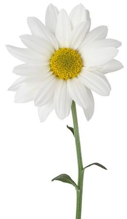 Daisy on white bacground
