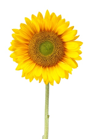 sunflower isolated: a sunflower isolated on white with clipping path Stock Photo