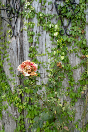 Withered pink rose with blurred ivy plant on tree trunk background stock photo withered pink rose with blurred ivy plant on tree trunk background mightylinksfo