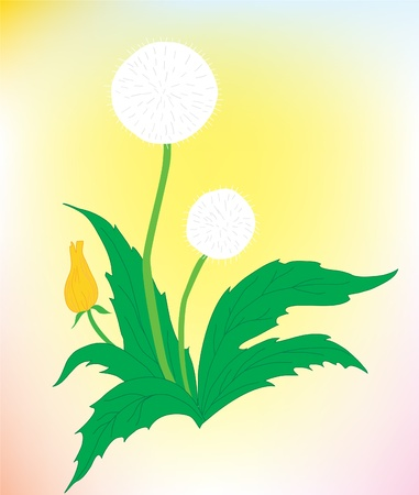Flower background. A beautiful dandelion on a color background Vector
