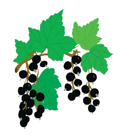 Background. A black currant on a branch with leaves Illustration