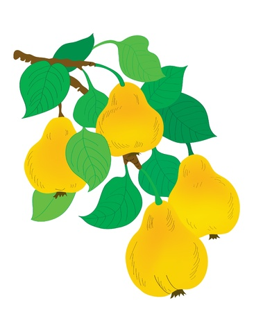 Fruit background. A branch with pears and leaves