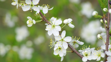 Background. A beautiful blossoming cherry with ladybirds                 Stock Photo