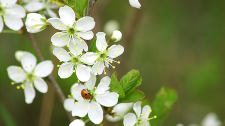 Background. A beautiful blossoming cherry with ladybirds