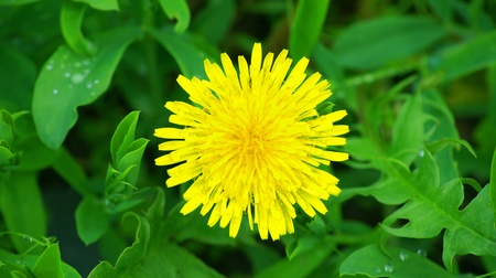 Background. A beautiful yellow dandelion