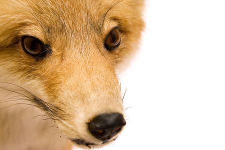 Fox (Close View) Stock Photo