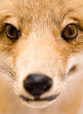 Stuffed Fox (Close View)