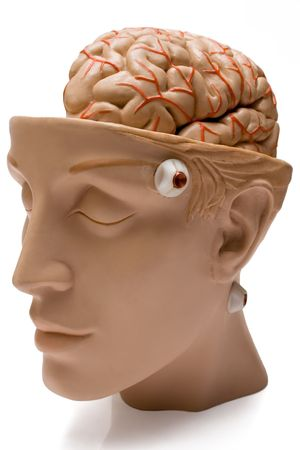 Human Brain (Front Side View)