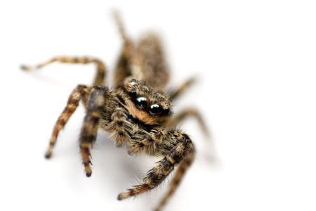 hiss: Macro shot of a hairy spider isolated on white. Shallow depth of field.
