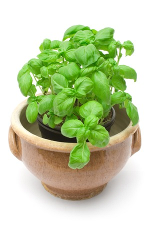 Fresh herbs in a brown pot. Isolated on a white background.