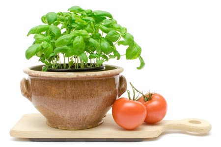 tomatos: Potted basil and two tomatos isolated on a white background.