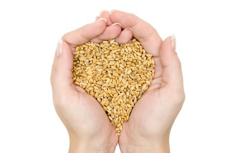 Hands full of raw wheat. Isolated on a white background.