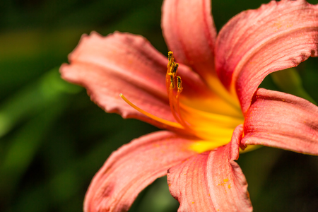 washhouse: Close up on an orange day lily