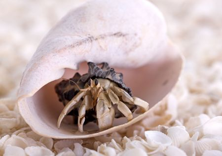 hermit: Hermit crab coming out of large sea shell