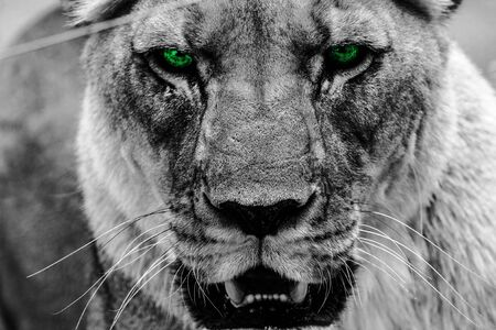 Lioness with Green Eyes - Black and White Image Foto de archivo - 133535234