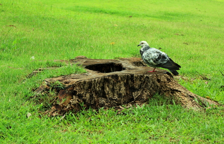 beak pigeon: Pigeon on the wood log with background of green grass Stock Photo