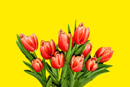 Red and orange tulips bouquet isolated on yellow background. Spring flowers for greeting cards, banners, decorations.