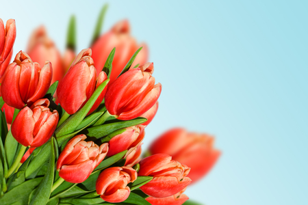 Tulips bouquet, spring flowers on blue background. Red flowers background for greeting cards, banners, wedding celebrations. Banque d'images
