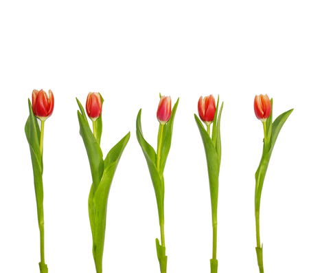 Red tulip flowers isolated on white background. Tall fresh spring flowers for wedding, greeting cards, spring banners.