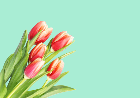 Spring tulips bouquet on turquise background. Springtime blossom, red and orange tulip flowers for Mothers Day greeting cards, seasonal banners, wedding. Stock Photo