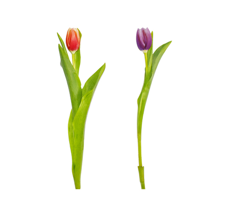 Red and purple tulip flowers isolated on white background. Tall fresh spring flowers for wedding, greeting cards, spring banners.